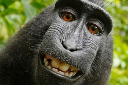 Суд Сан-Франциско відмовив мавпам в авторському праві на «селфі»