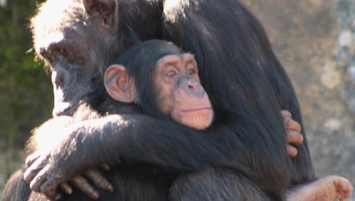 Шимпанзе, як і люди, будують дружбу на довірі
