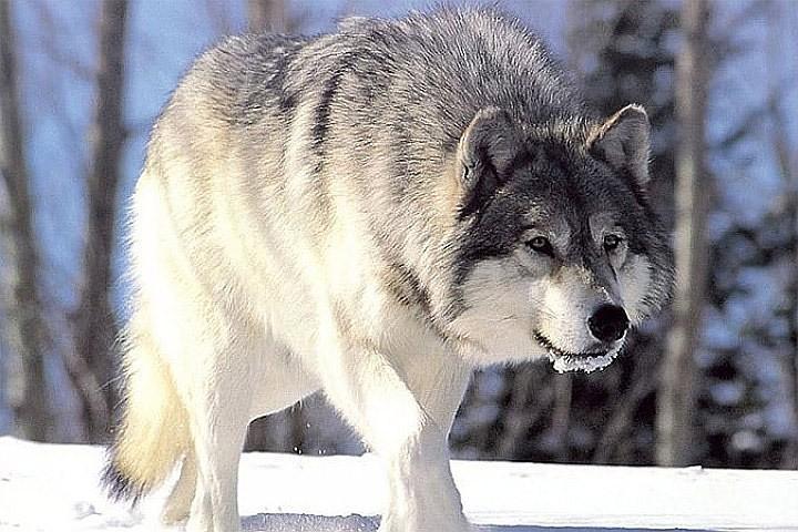 Естонський хуторянин дві години бився з вовком, який прийшов до нього у двір за здобиччю
