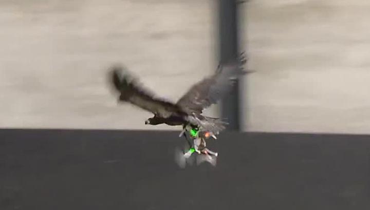 Нідерландських орлів вчать полювати на безпілотники