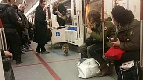 Дикий єнот самостійно скористався послугами метро в Торонто