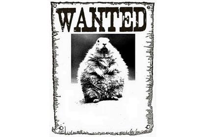 Американського бабака «заарештували» за неправильний метеопрогноз