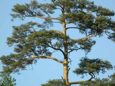 В Естонії росте найвища сосна на Землі
