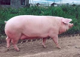 У США на вибори президента прийшла свиня