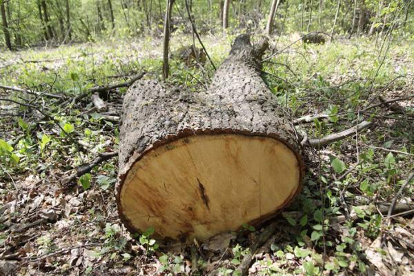 У Ветлах з пилорами вилучено ліс