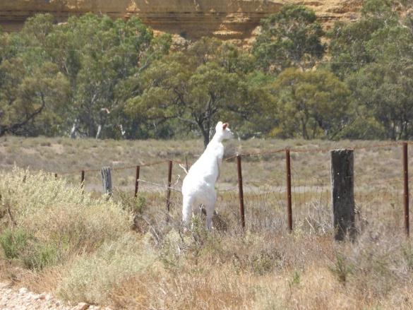 В Австралії знайшли рідкісного кенгуру-альбіноса