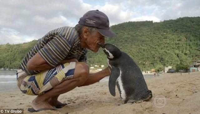 Пінгвін щорічно пропливає 5 тисяч кілометрів, щоб зустрітися з чоловіком, який його врятував
