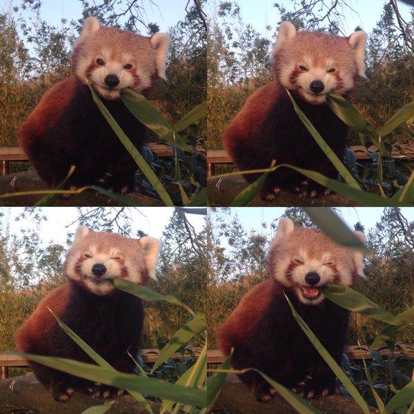 Багата міміка зробила червону панду зіркою Інтернету