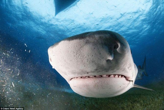 Водолаз зробив неймовірні фотографії пащі живої тигрової акули зсередини