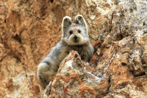 У Китаї вперше за 20 років сфотографували рідкісний вид кроликів (фото)