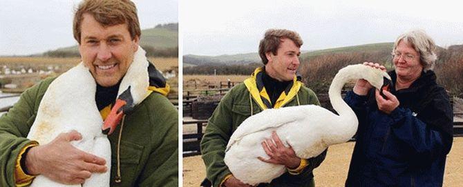 Мережу вразила поведінка лебедя, врятованого британським телеведучим (фото)