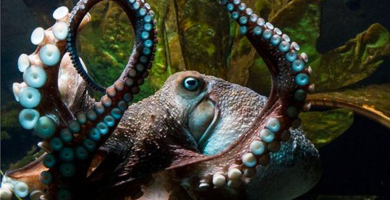 У Новій Зеландії восьминіг втік з океанаріуму в океан