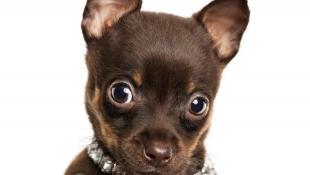 Нова Зеландія створила національну базу небезпечних собак