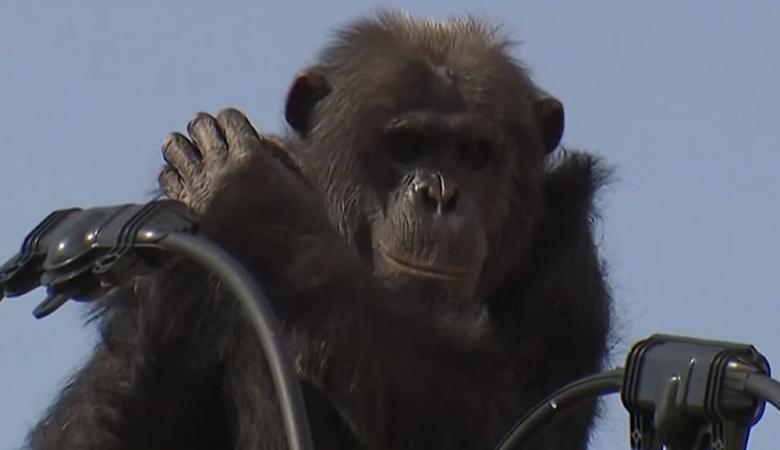 Японські поліцейські ледь спіймали шимпанзе, який втікав від них по лініях електропередач (фото)