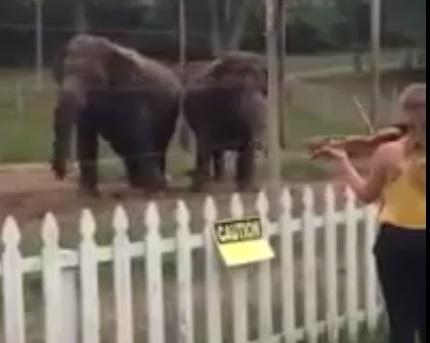 В Інтернеті з'явилося відео зі слонами, які захоплено танцюють під звуки скрипки