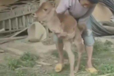 У Китаї народилося двоноге теля (відео)