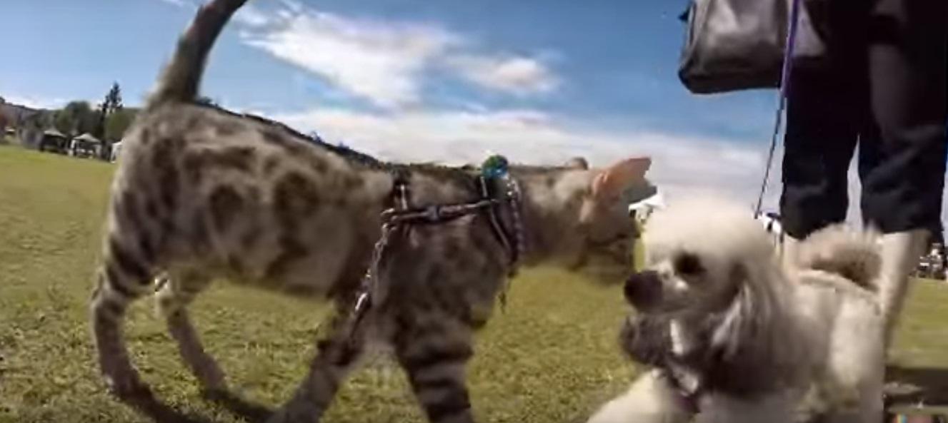 Мережу підкорило відео з котом, який «знайомиться» з  учасниками виставки собак
