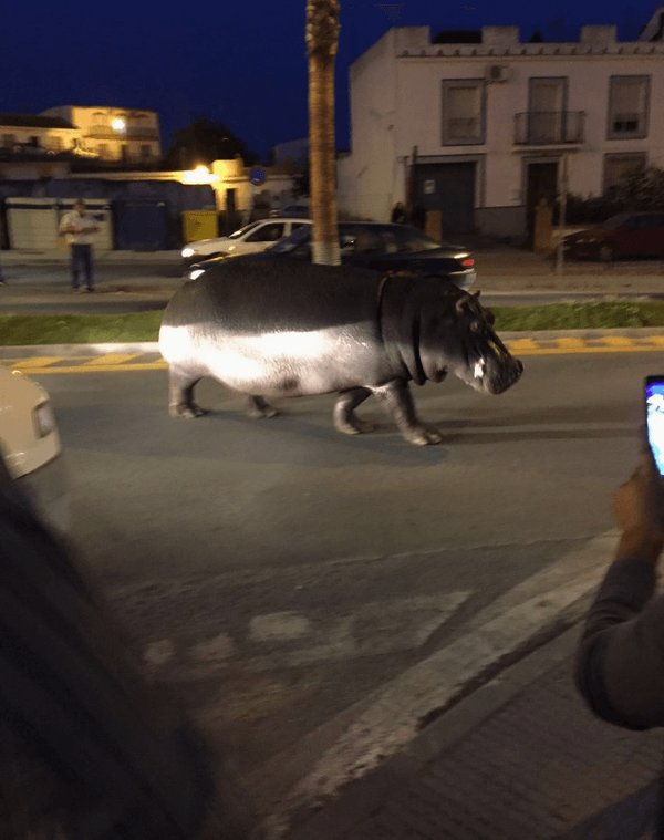 В Іспанії з цирку втік гіпопотам