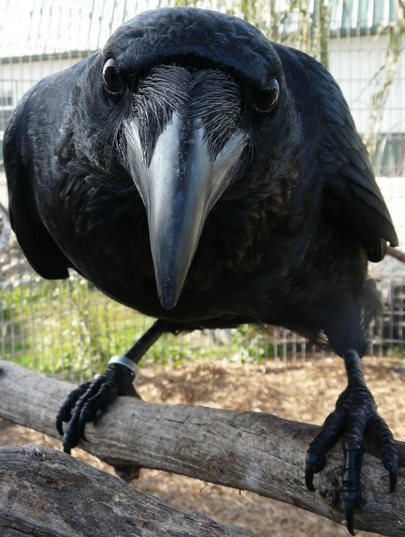 Ворона вкрала цуценя чихуахуа у хворої мешканки Австралії