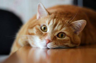 У Росії за борги господаря пристави заарештували його кота