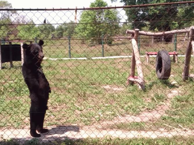 Мережу підкорює відео з ведмедем, який освоїв людську ходу