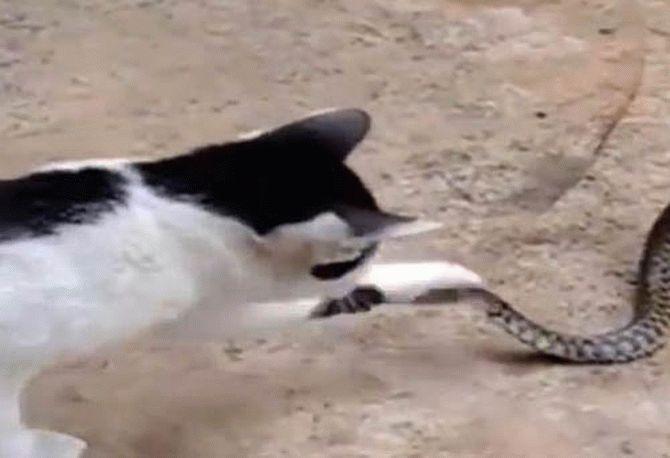 Мережу вразило відео протистояння кота, змії та великої жаби