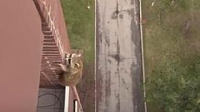 У Канаді єнот-шибайголова по фасаду забрався на 10-й поверх житлового будинку (відео)