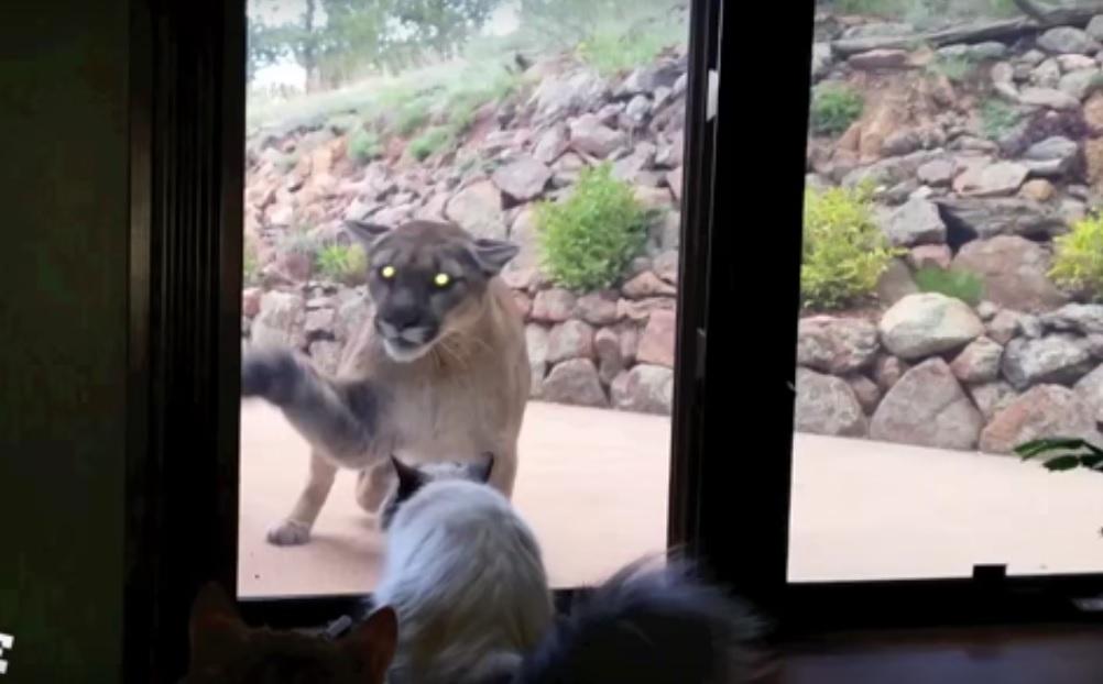 Мережу підкорило відео з відважним котом, який захистив свій будинок від пуми