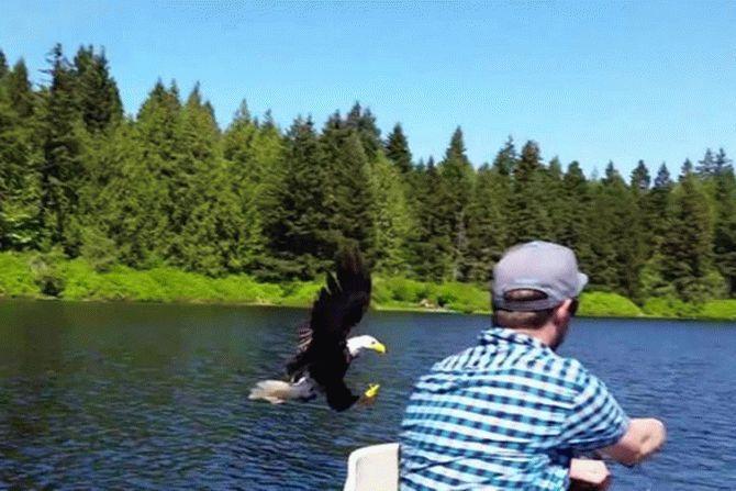 Орел вкрав у рибалки рибу просто з гачка (відео)
