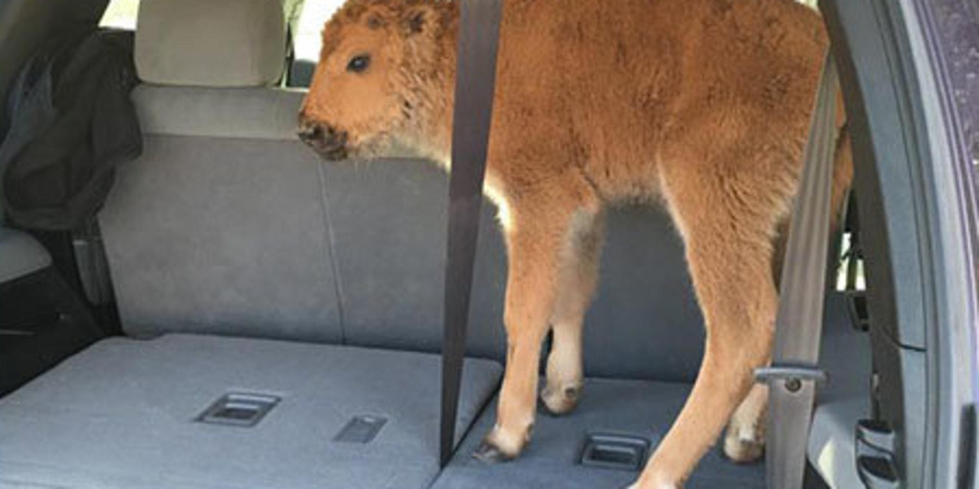 У Йеллоустонському заповіднику туристи з жалості викрали маленького бізона