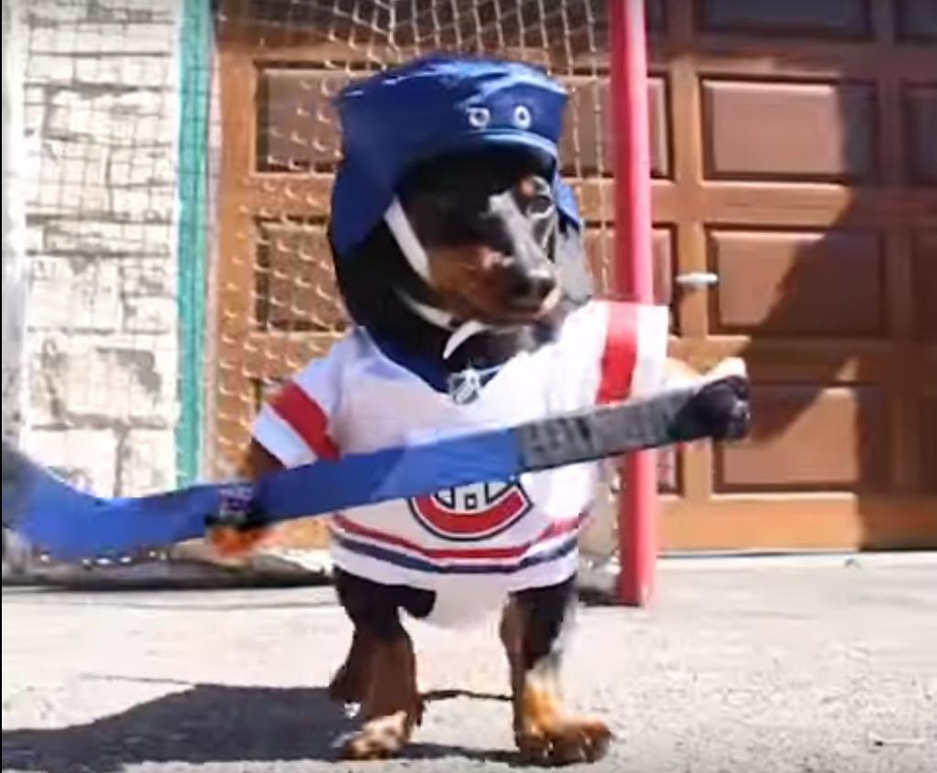 Мережу захопило відео з таксами, які грають у хокей