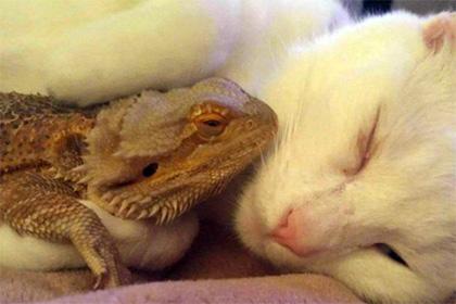 У США кіт подружився з бородатою ящіркою (фото)