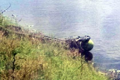 У Флориді алігатор вкрав кавун з баштанного поля