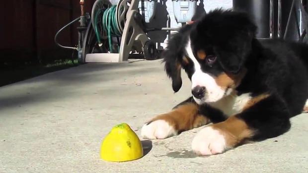 Мережу «підірвало» відео з цуценям, яке вперше побачило лимон