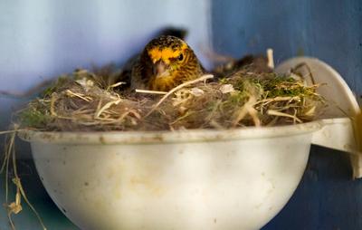Власник найбільшої колекції декоративних канарок у світі випадково вбив 87 своїх птахів