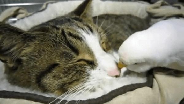Мережу вразило відео про дружбу папуги та кота