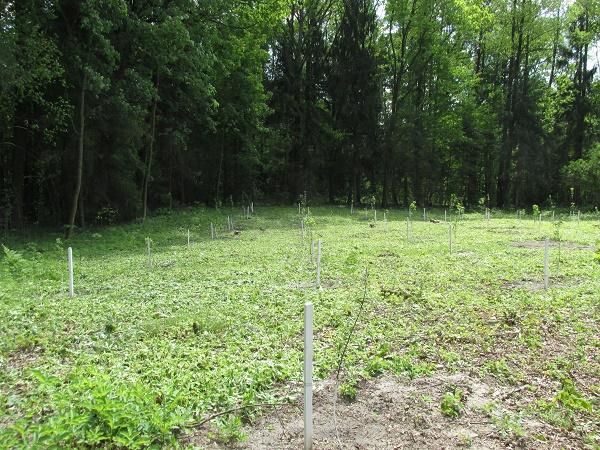 Ковельські лісівники відновили яблуневі сади