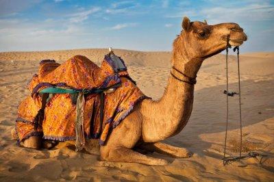 В Індії верблюд відкусив голову господареві