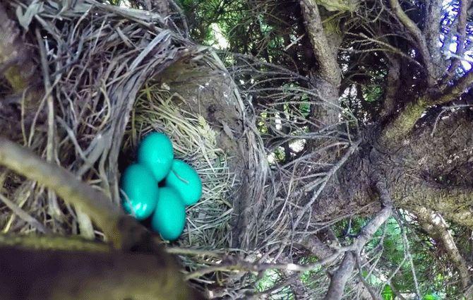 Американець зняв на відео, як змія розоряє пташине гніздо