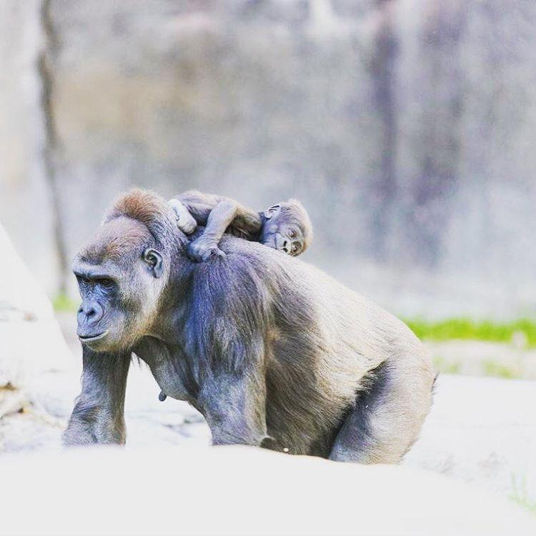 Дитинча горили зіграло в «ладоньки» з юною гостею американського зоопарку (фото)