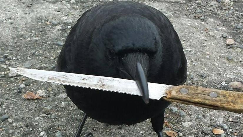 Канадська ворона-рецидивіст викрала доказ з місця злочину
