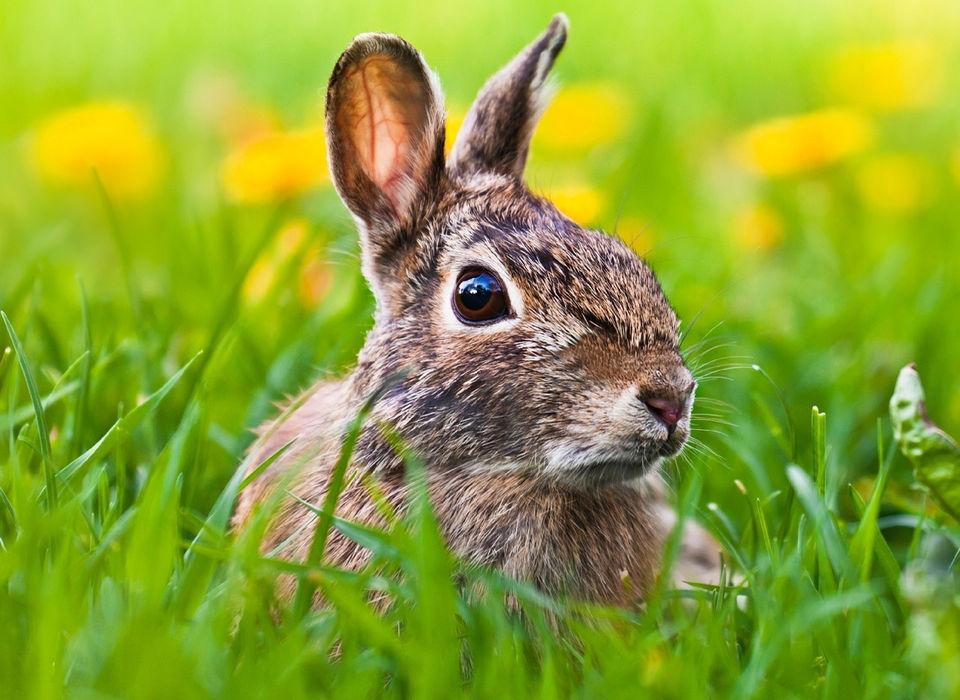 Росіянка вигодувала дикого зайця грудьми
