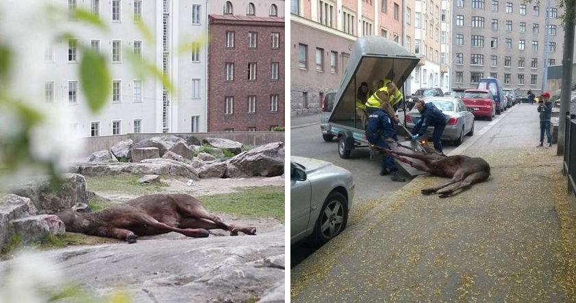 У центрі Гельсінкі лось викинувся з вікна банку