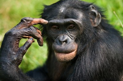 Учені зняли відео, як шимпанзе оплакують смерть друга