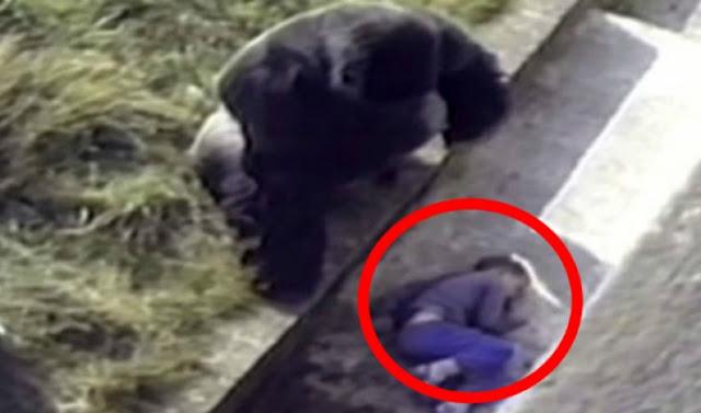 Мережу зворушило відео про благородний вчинок горили