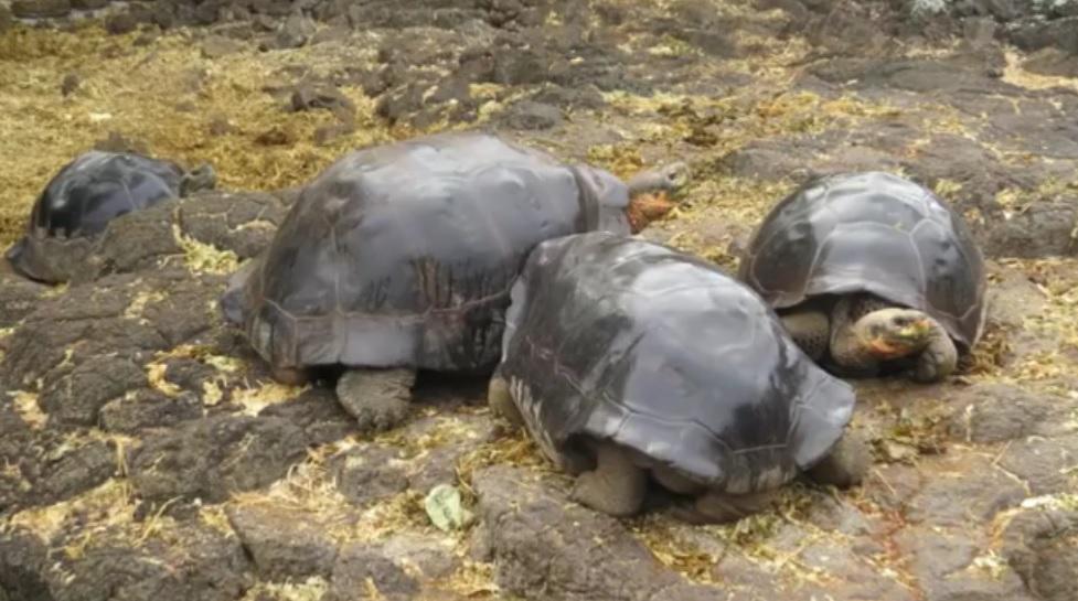 80-річна черепаха зі швейцарського зоопарку  вперше стала мамою