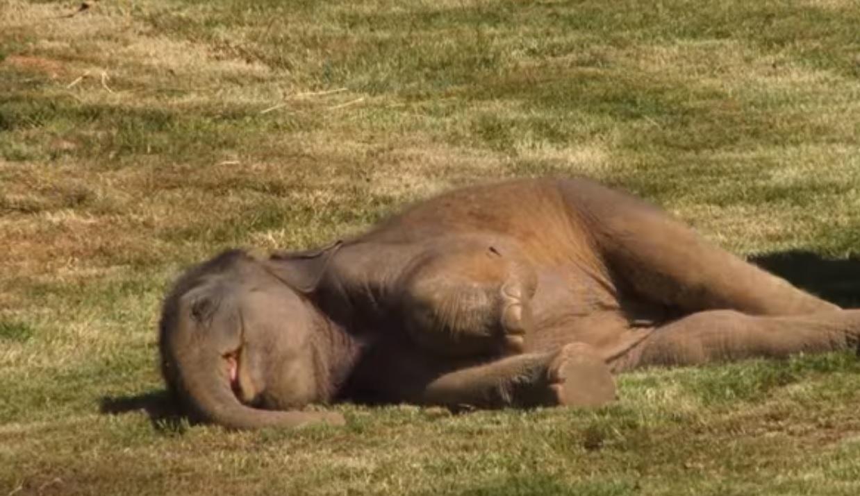 Слоненя-сонько підкорило Інтернет