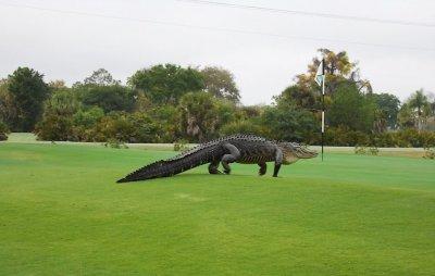 Гігантський алігатор заповз на поле для гольфу у Флориді (відео)