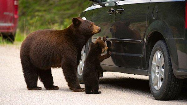 Ведмеді намагалися «розкрити» авто на шкільній автостоянці в американському Гейнсвіллі (фото)