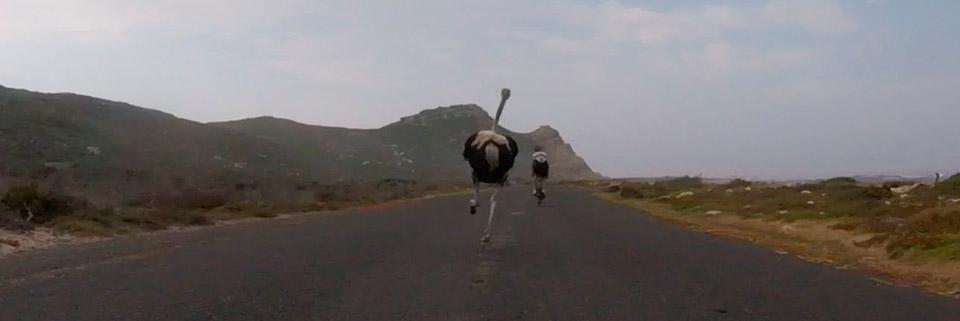 Африканський страус взяв участь у веломарафоні (відео)